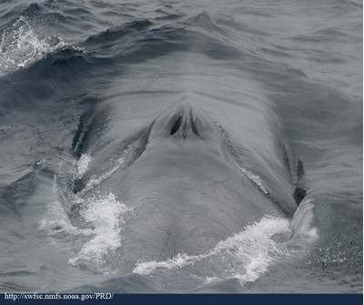 Blue whale at surface.    Image: Wikipedia Commons