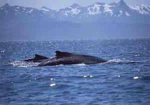 NOAA humpback with calf copy