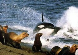 Orca attack seal near shoreWEB